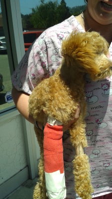 other rescued animals Poodle broken leg